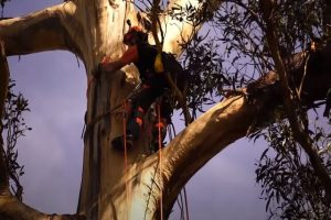 Norman OK worker climbing a large tree to cut parts down.
