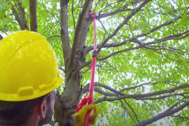 Many's Tree Service worker pruning a tree with his pruning tool.